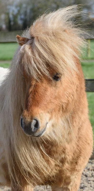 Pony Parties - Our shetland pony Caramel